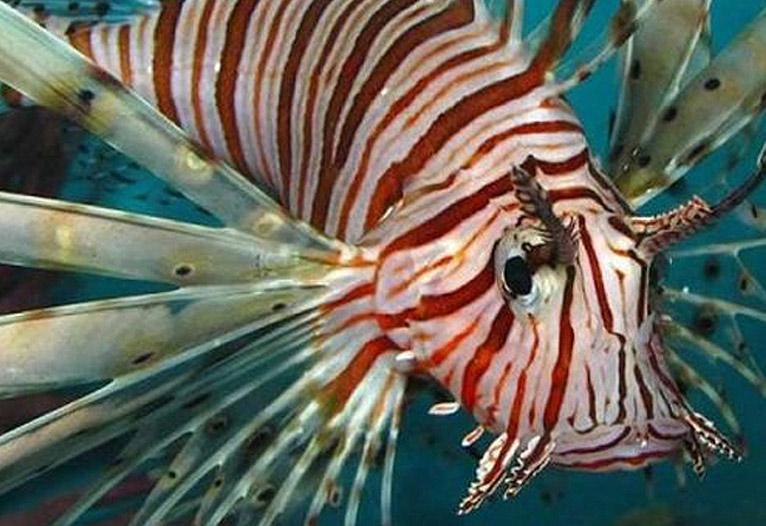 Ένα από τα πιο τοξικά ψάρια που υπάρχουν εμφανίστηκε στην Κρήτη
